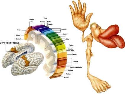 La corteccia tattile e motoria