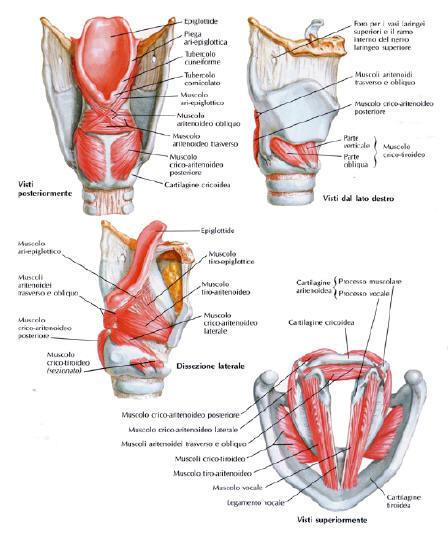 Laringe, anatomia